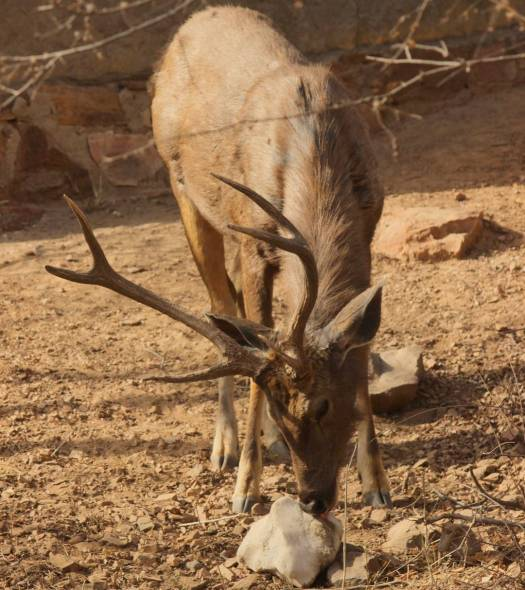 sambal deer 1
