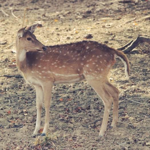 sambal deer