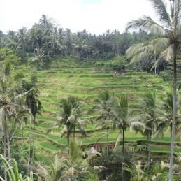 rice terrace 1